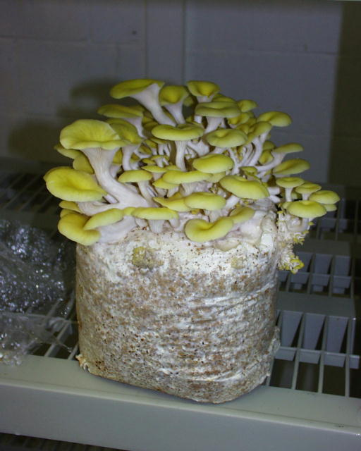 Golden Trumpet Oyster mushrooms